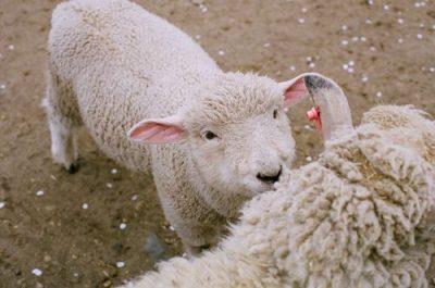 幼羊の毛根